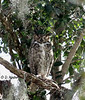 Great Horned Owl January 28, 2013 - Diane Schneider Munster