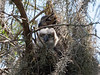 Great Horned Owl Mother and Chick - Owl Eyes March 7, 2013 - David Hall