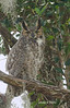 Great Horned Owl January 28, 2013 - Vilho Kallio