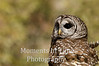 Owl, barred , (Strix varia)