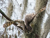 Great Horned Owl Father - Back to his Roost February 16, 2013 - David Hall