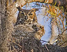 Description - Great Horned Owl and Baby <i>- Fred Drotar</i>