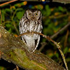 Adult Western Screech-Owl, Sacramento Co, CA, 5-20-13. Cropped image. Red-eye removed.