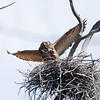 female returns to nest after a short foraging attempt. great horned owl: Bubo virginianus, heronry