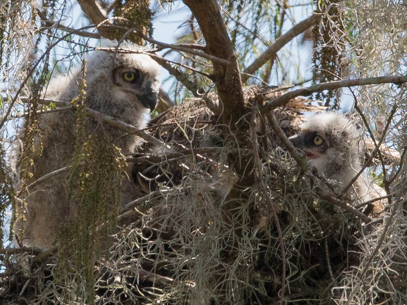 Great Horned Owl Mother and Chicks - You Looking at Me? March 7, 2013 - David Hall