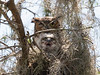 Great Horned Owl Mother and Chick - Look at the Man, Mom! March 7, 2013 - David Hall