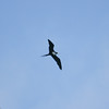 Great-Frigatebird-Oahu_Hawaii-8578