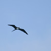 Great-Frigatebird-Oahu_Hawaii-8575