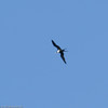 Great-Frigatebird-Oahu_Hawaii-8497