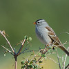 White-crowned sparrow. Photo by Brent Stettler, Utah Division of Wildlife Resources, taken 10-8-09.