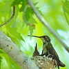 A female black-chinned hummingbird with her two chicks in their nest. Photo by Ron Stewart, Utah Division of Wildlife Resources.