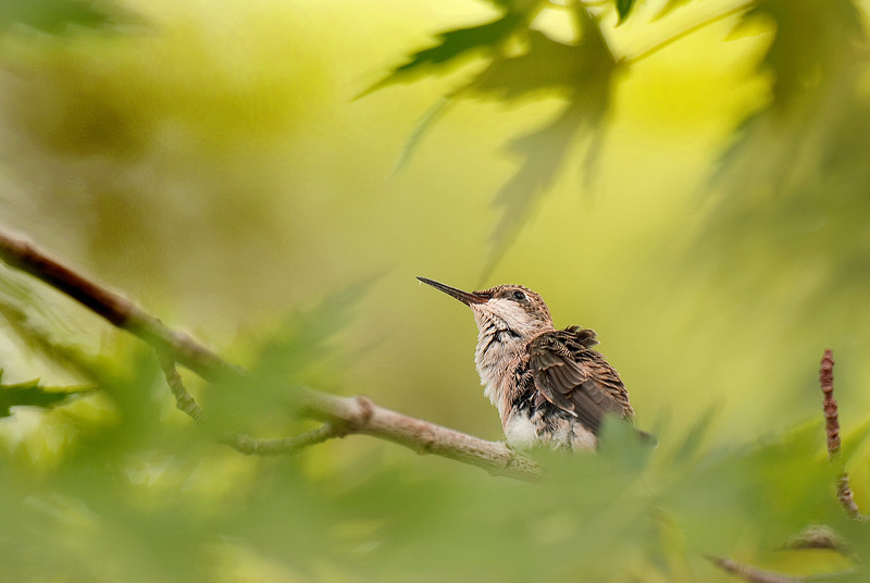 A black-chinned hummingbird chick. Photo by Ron Stewart, Utah Division of Wildlife Resources.