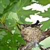 Black-chinned hummingbird chicks in their nest. Photo by Ron Stewart, Utah Division of Wildlife Resources.