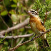 Black-headed Grosbeak (3)