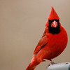 Northern Cardinal (10) - Copy