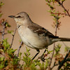Northern Mockingbird (64)