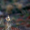Northern Mockingbird (62)