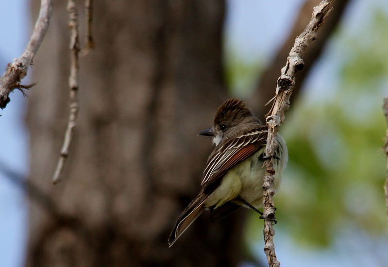 Ash-throated Flycatcher (63)