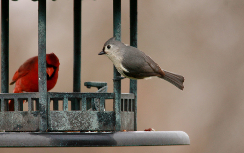 Tufted Titmouse, Northern Cardinal