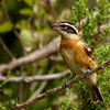 Black-headed Grosbeak (4)