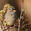 White-crowned Sparrow (63)