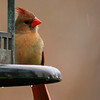 Northern Cardinal (15) - Copy
