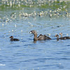 Pied Billed Grebe and Young