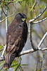 "Short-tailed Hawk, Dark Morph ""Buteo brachyurus"""