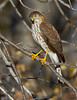 "Sharp-shinned Hawk ""Accipiter striatus"""