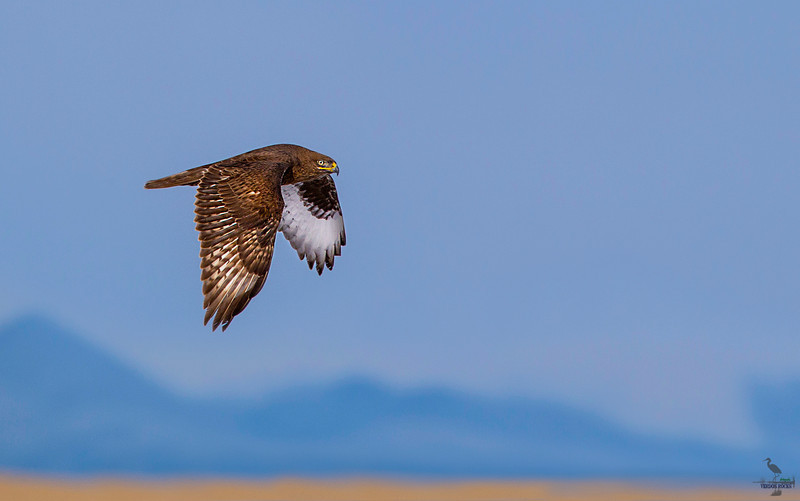 Rough-legged Hawk /adult dark-morph