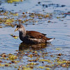 Common Gallinule (juvenile)
