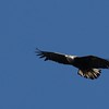 Bald Eagle, 3rd yr - North St  Recreational Trail, Waterville, ME - 14 Apr 2015