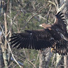 Imm Bald Eagle at Davis Finch's carcass pile -  91 South Rd, East Kingston, NH - 8 Feb 2014