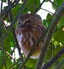 Northern Saw-Whet Owl - Reifel Bird Sanctuary, Ladner, BC (February, 2011)