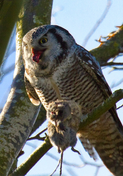 Northern Hawk Owl - Reifel Bird Sanctuary, December, 2010