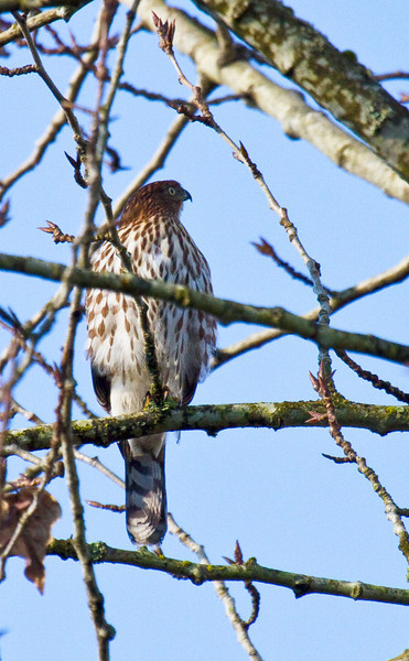 Sharp-shinned (juvenile) - Maplewood, North Vancouver, BC (November, 2010)