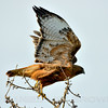 Red-tailed Hawk, Cosumnes River Preserve, Sacramento, County, CA, 3-7-14. Cropped image.