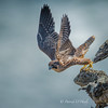 Peregrine Falcon Fledge