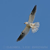 Adult White-tailed Kite with nest debris. Sacramento Co, CA, 5-21-13. Cropped image.