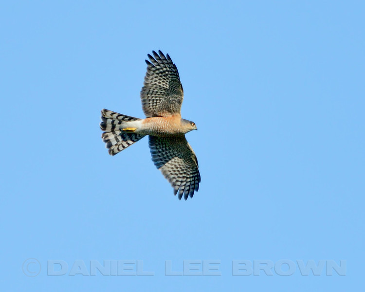 Adult Sharp-shinned Hawk, Merced County, CA, 3-11-14. Heavily Cropped image.
