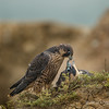 Peregrine Falcon Fledges