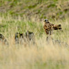 Rough-legged Hawk, Mariposa County, CA, 3-8-14. Cropped image.