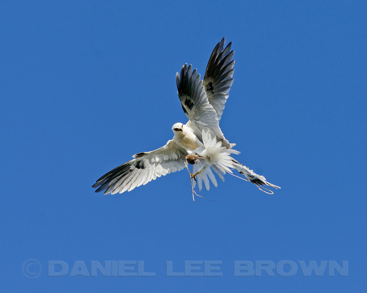 White-tailed Kite, adult (left) attempting to feed fledgling in mid-air,  Sacramento Co, CA, 5-29-13. Cropped image