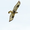 Rough-legged Hawk, Le Grande Road, Merced County, CA, 3-8-14. Cropped image.