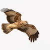 Whistling Kite (Haliastur sphenurus)
