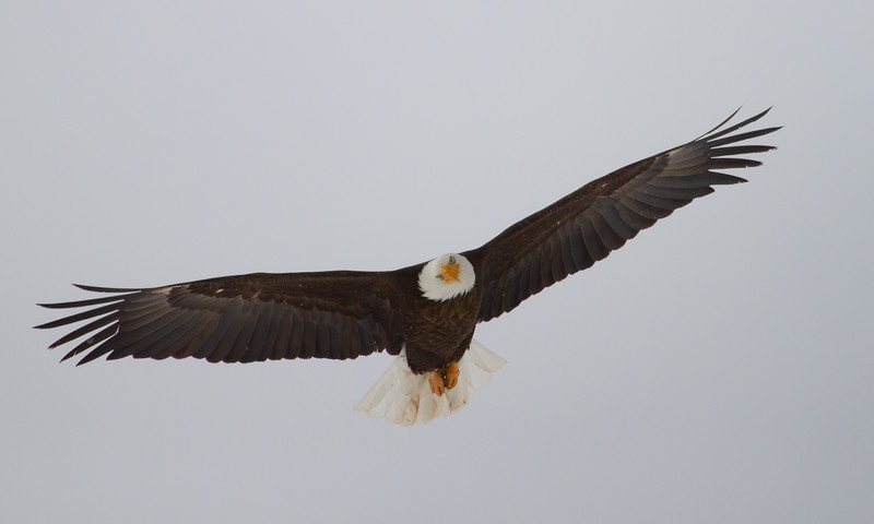 A bald eagle in Utah in the winter of 2012. Photo by Lynn Chamberlain, Utah Division of Wildlife Resources.