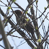 Rusty Blackbird, Harkins Slough, Santa Cruz Co. 03-08-14