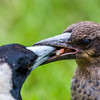 Immature Australian Magpie being fed
