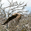 Ecuador, Galapagos Islands, Red-footed Booby