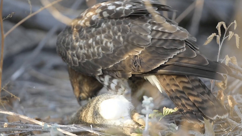 Red-tailed hawk 19-10-2014